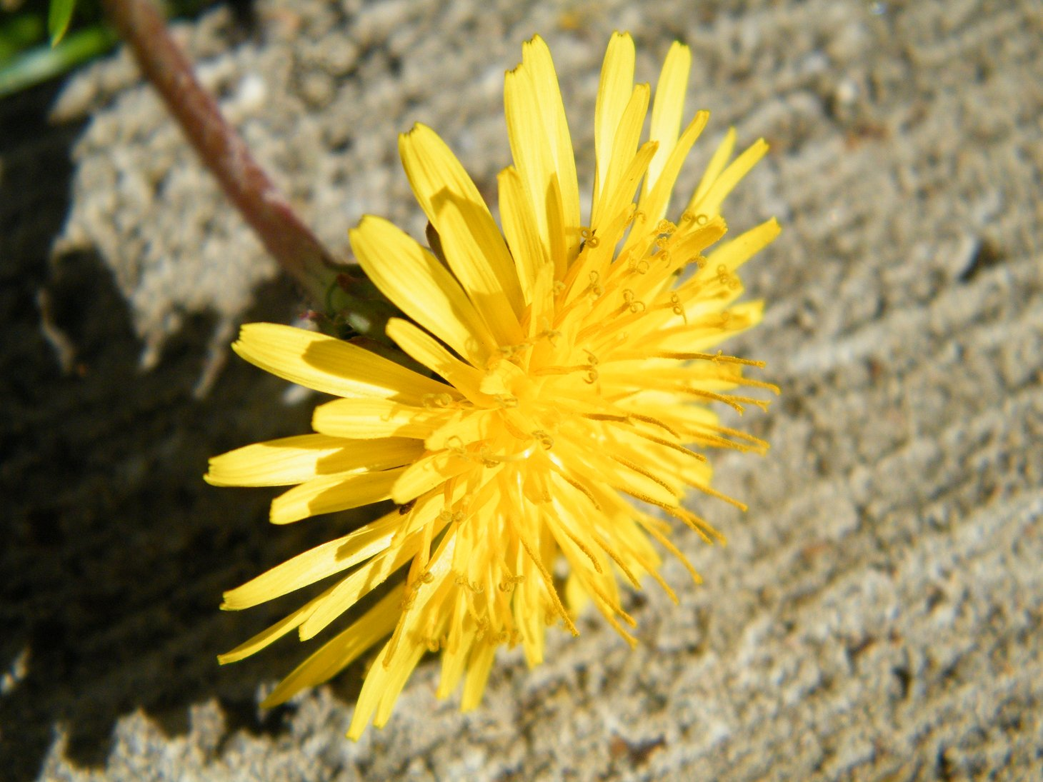 Macro Yellow Dandelion