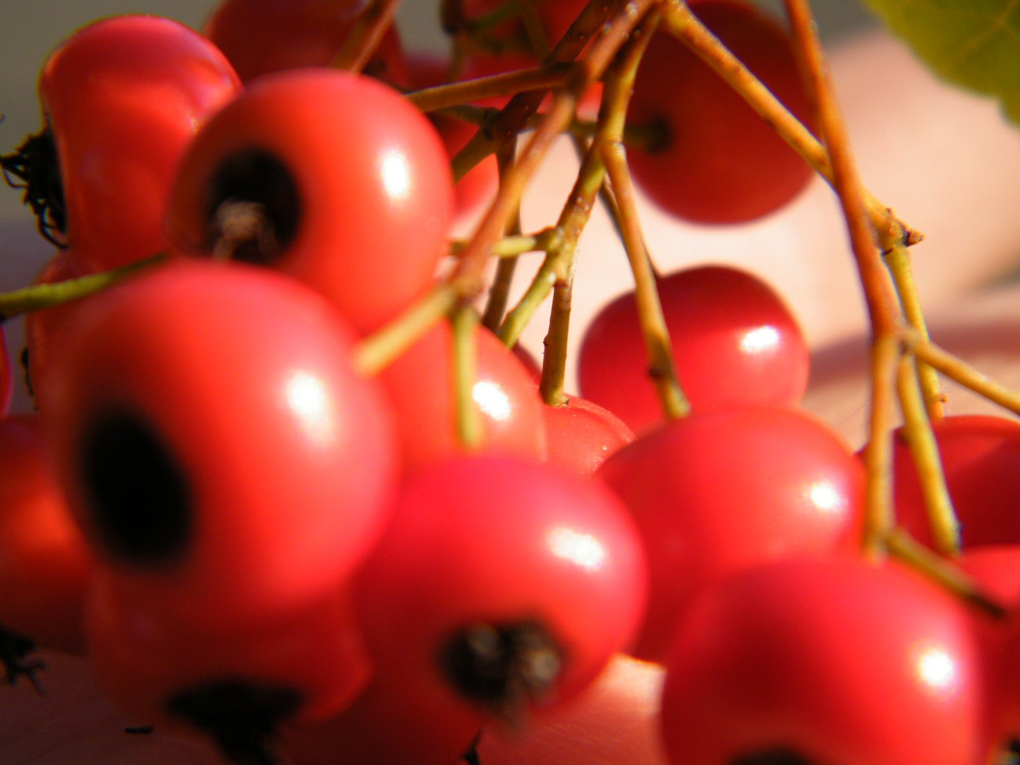 Macro Red Berries