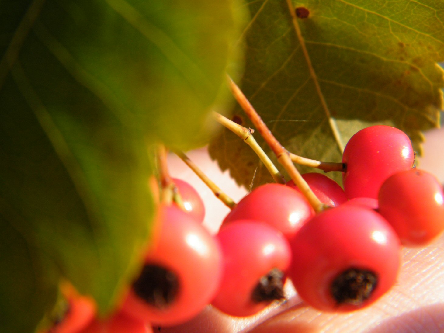 Macro Red Berries with Green Leaf