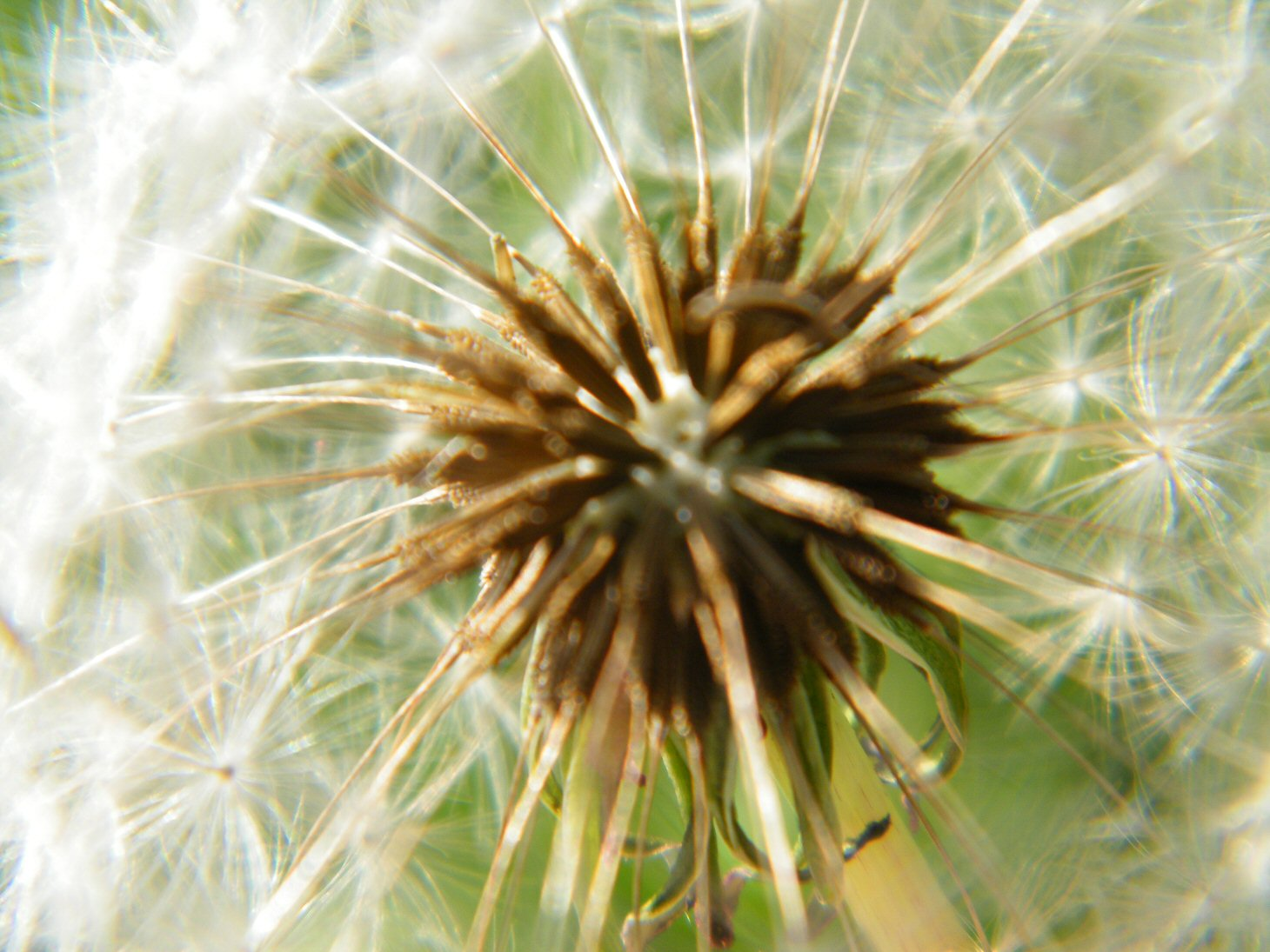 Macro Dandelion Ready to Blow On