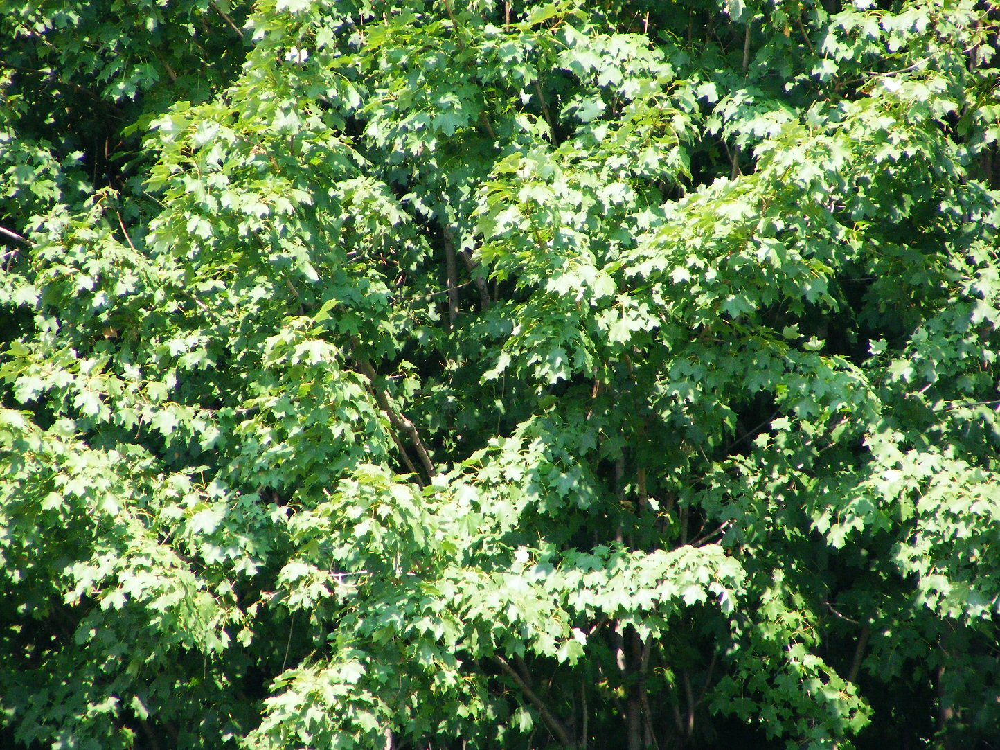 Summer Leaves in a Tree