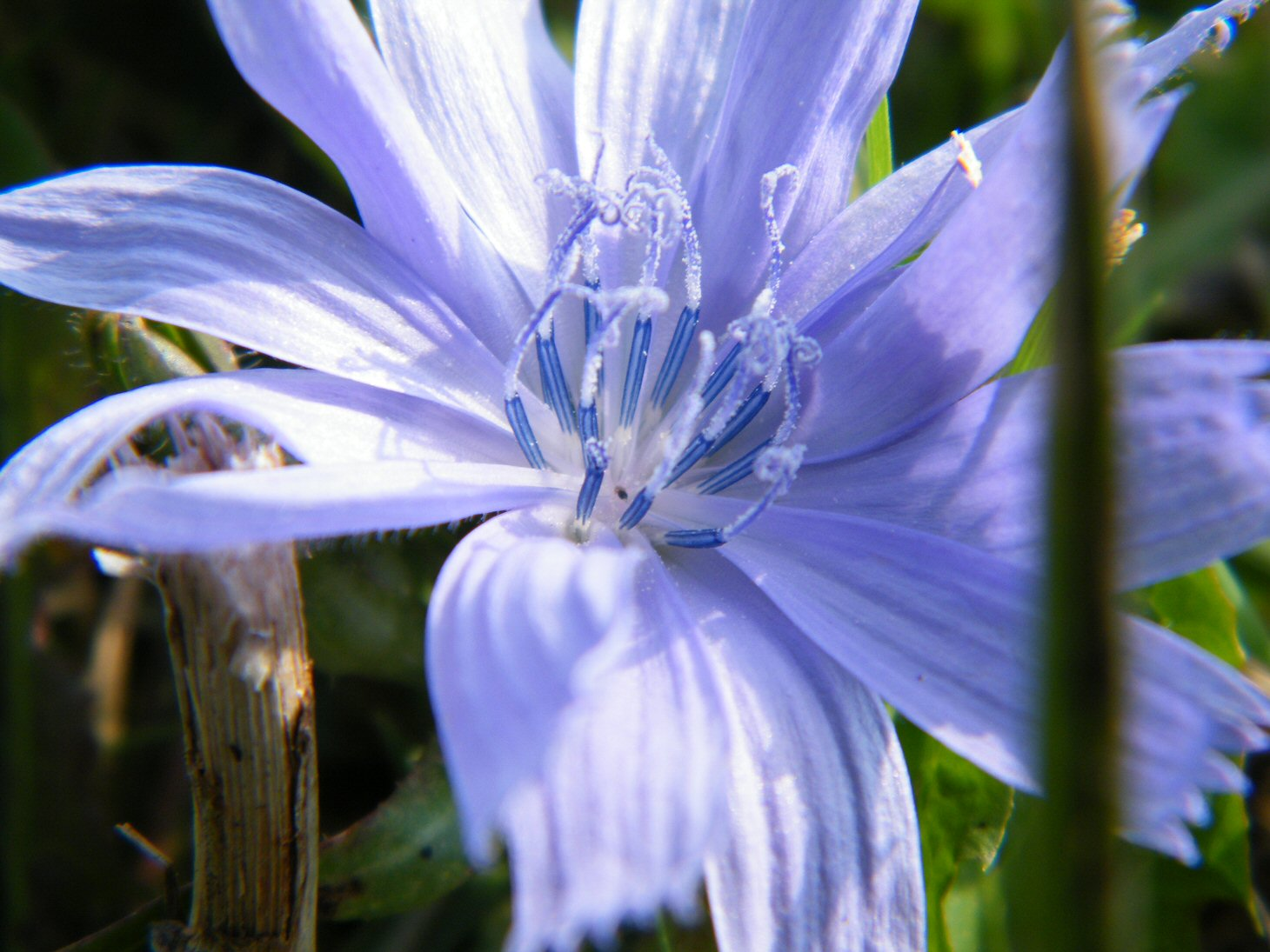 Macro Blue Plant with Stamen