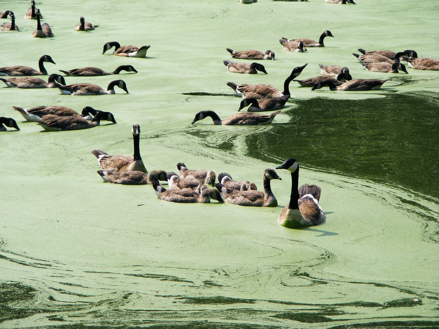 Many Geese in Green Water