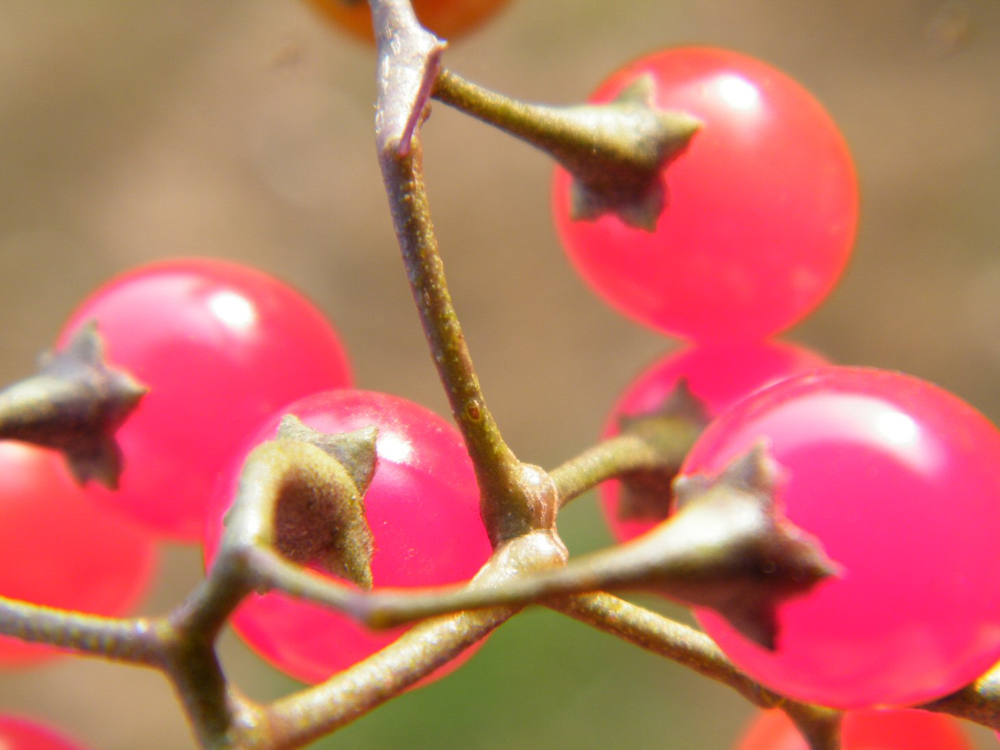 Macro Pink Red Berries